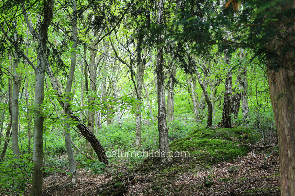A woodland with a mix of evergreen and deciduous trees.