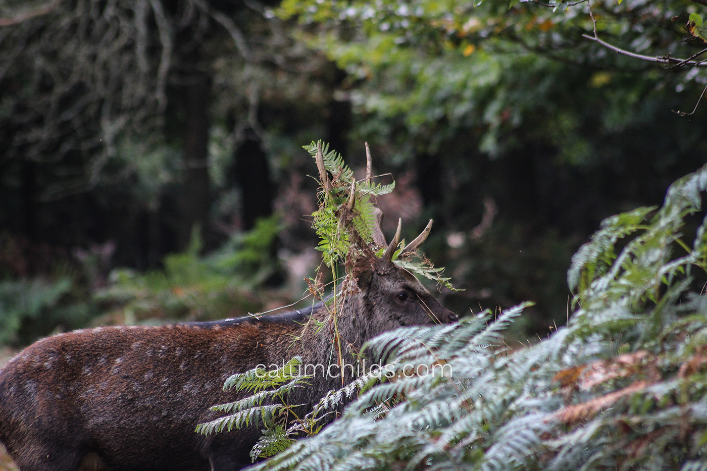 A male deer with medium-sized antlers containing parts of a fern plant looks ahead.