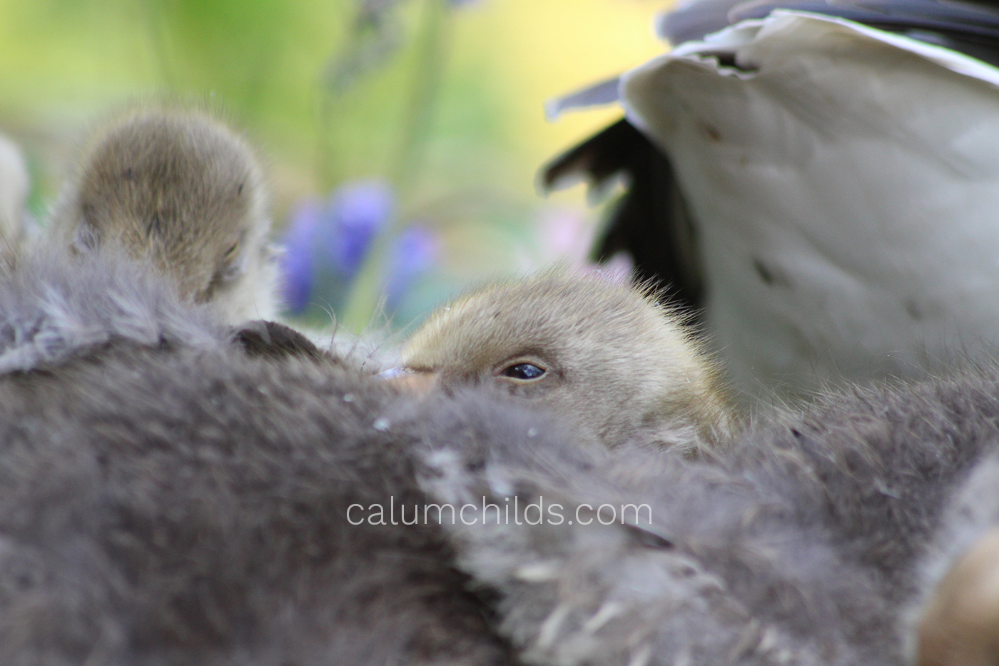 A goose chick wakes up from it's sleep, amongst many other chicks