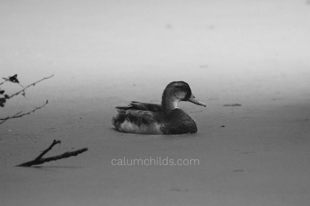 A black-and-white image of a duck swimming on an algae-covered pond.