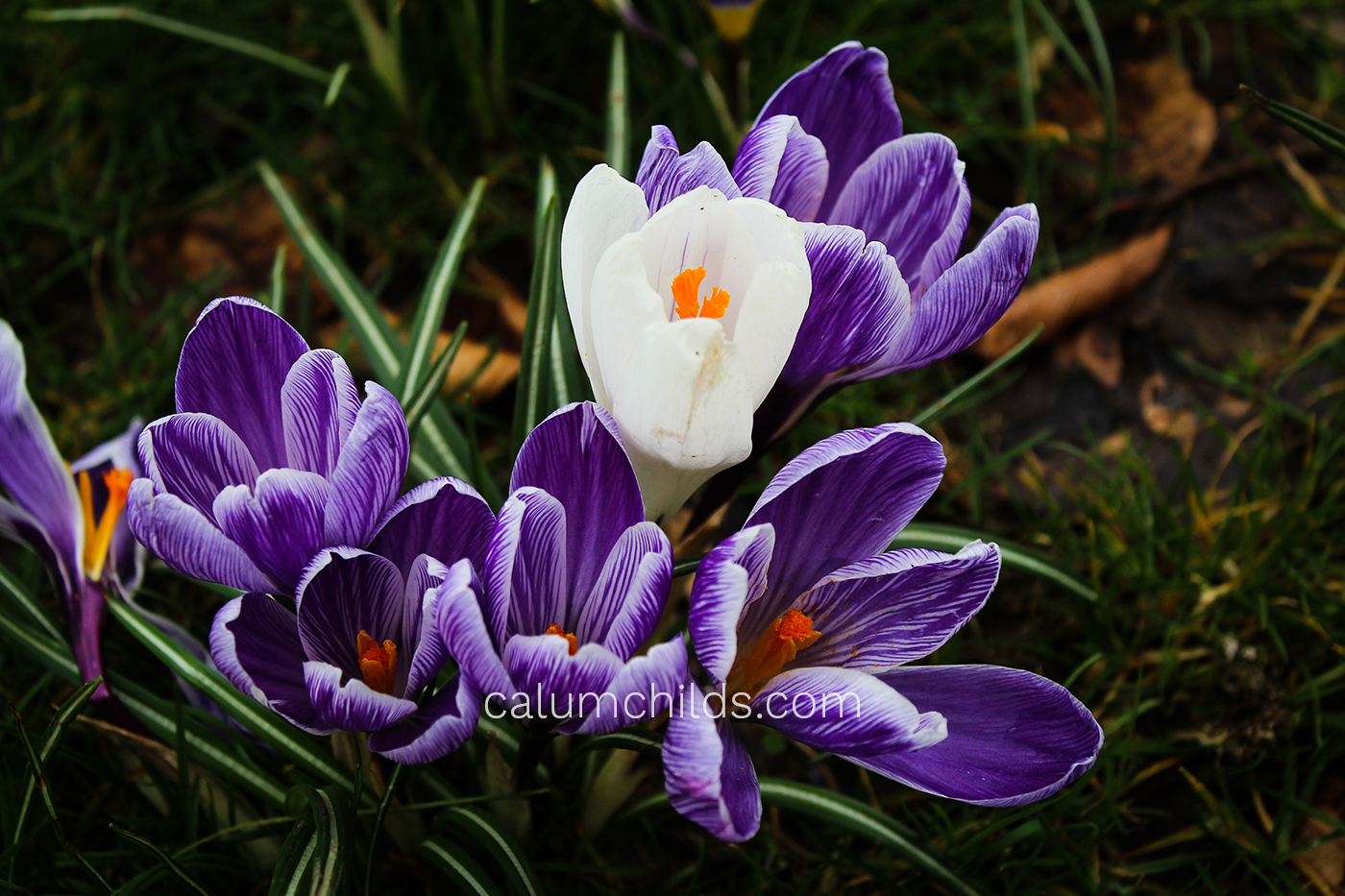 A group of purple and white crocuses shooting up