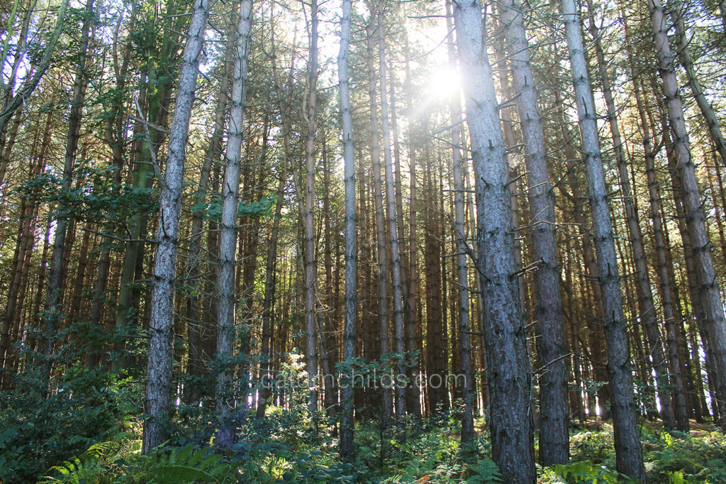 The sun shines through the bare trunks of pine trees, with green ferns dominating the forest floor.