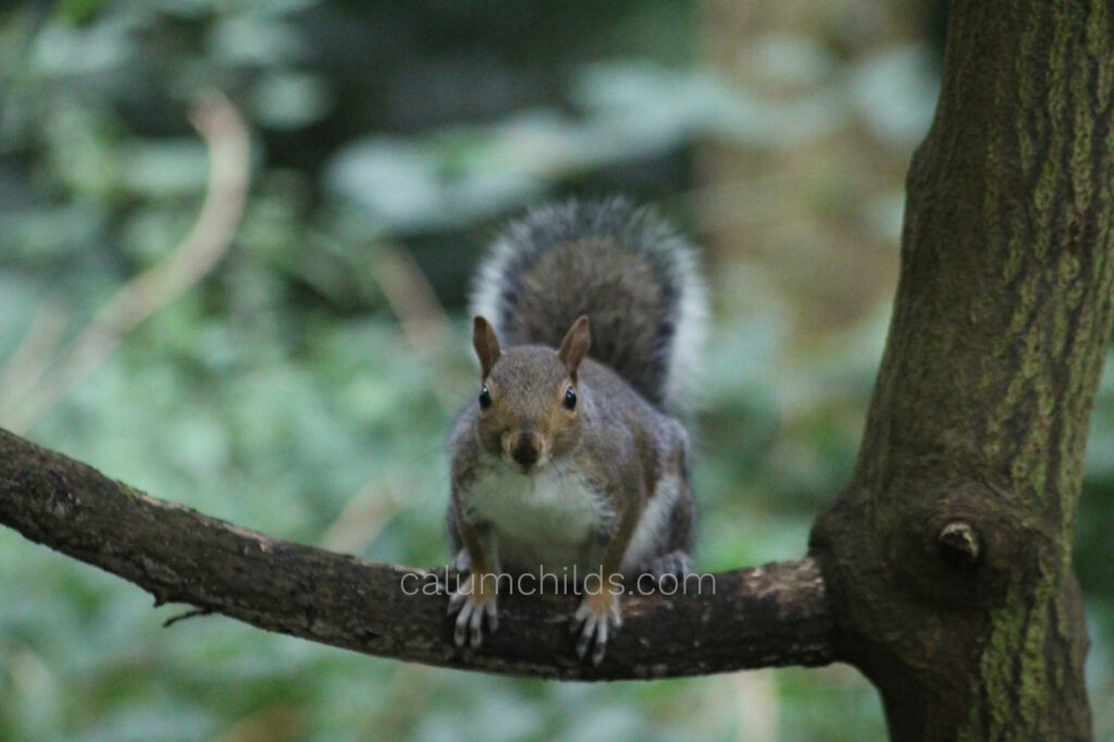A grey squirrel perched on a small tree branch surrounded by green plants.