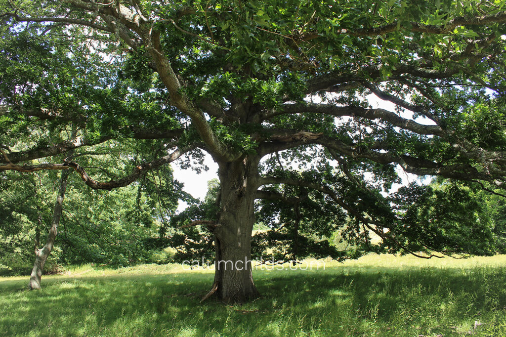 A large oak tree spreads it's branches.