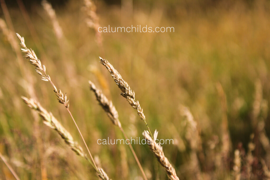 A single stem of grass is slightly askew in the summer breeze.