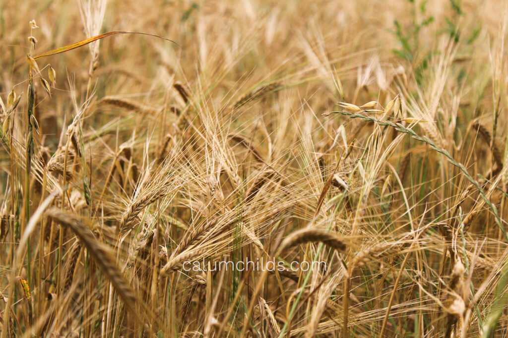 A mix of ripe and unripe stalks of wheat.