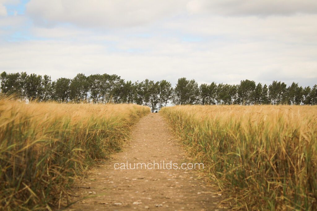 A brown, worn path through the field of wheat, with a row of tall trees in the background.
