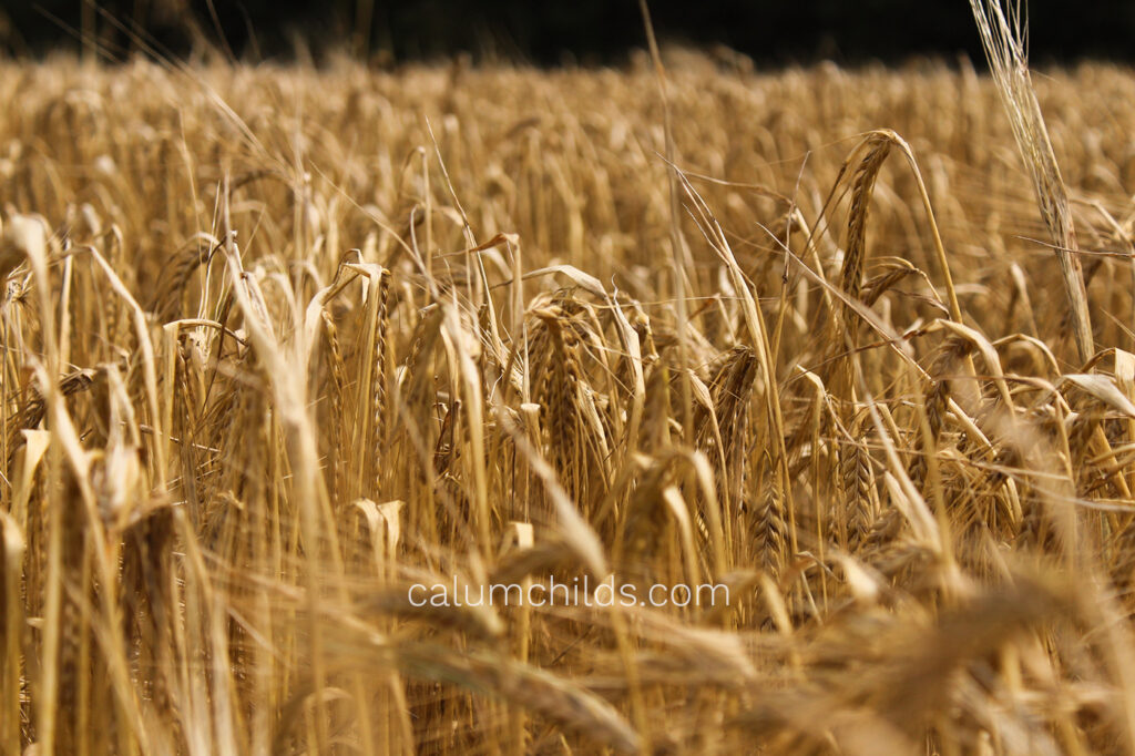 Multiple rows of wheat, one row of which is in focus.