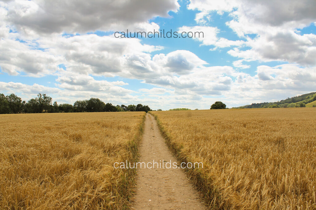 A path goes through a field of wheat. There is a blue sky with several clouds in it.