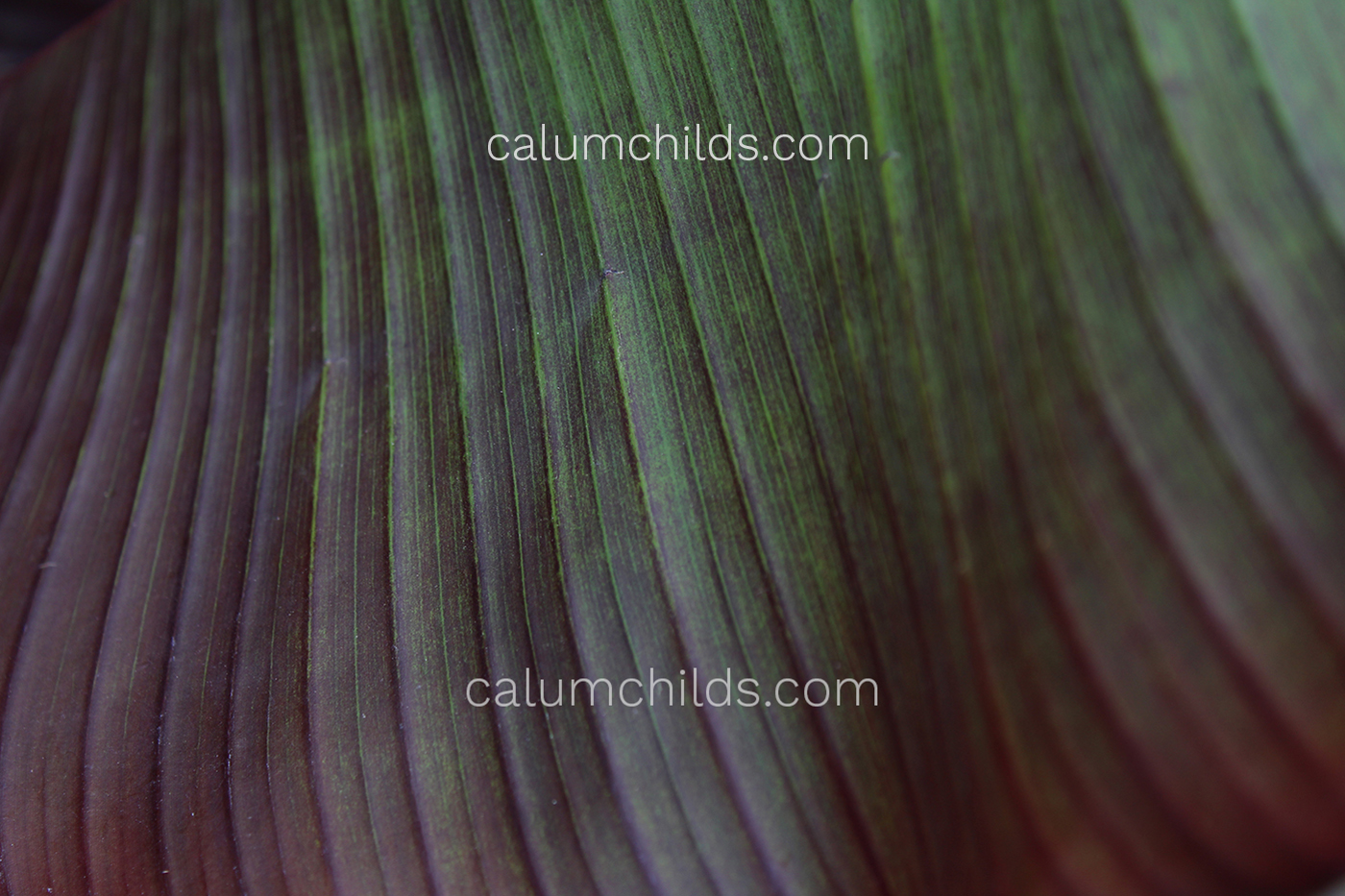A close-up of a large purple/green leaf.