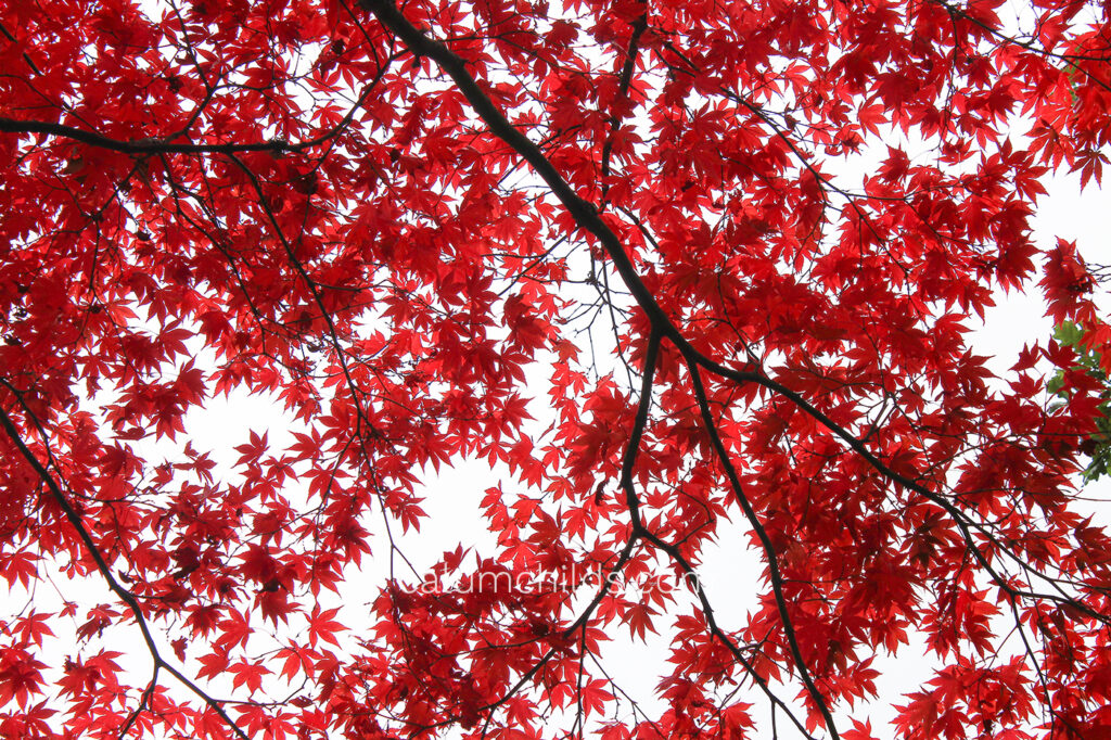 Clusters of beautiful red acer leaves still hang onto the thin branches.