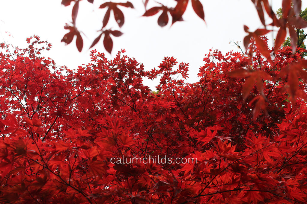 Several branches of beautiful red acer leaves.