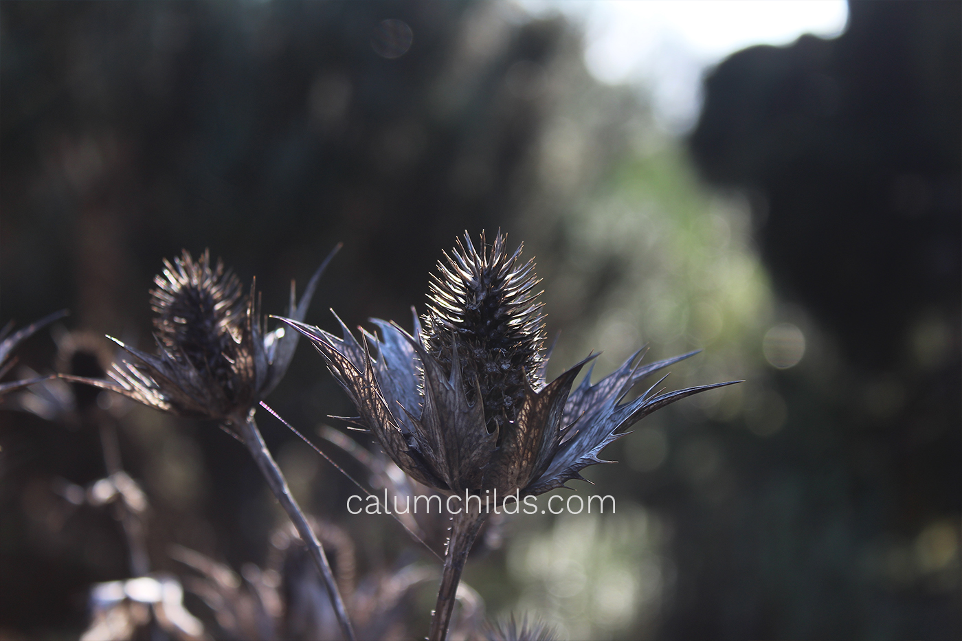 A seed head of a flower stands as a powerful and interesting shape in the winter sunlight.
