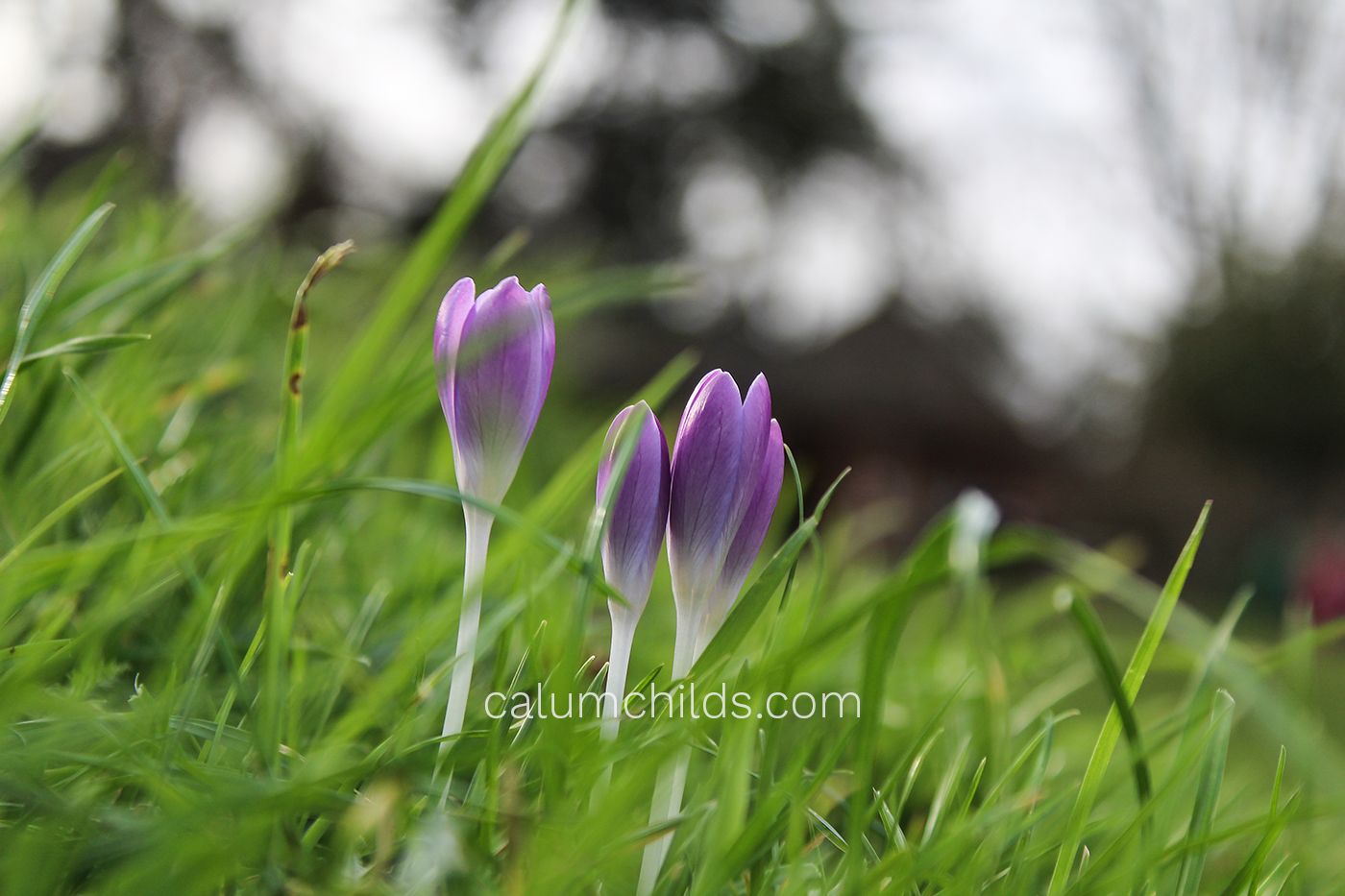 Three crocuses lay among the grass.