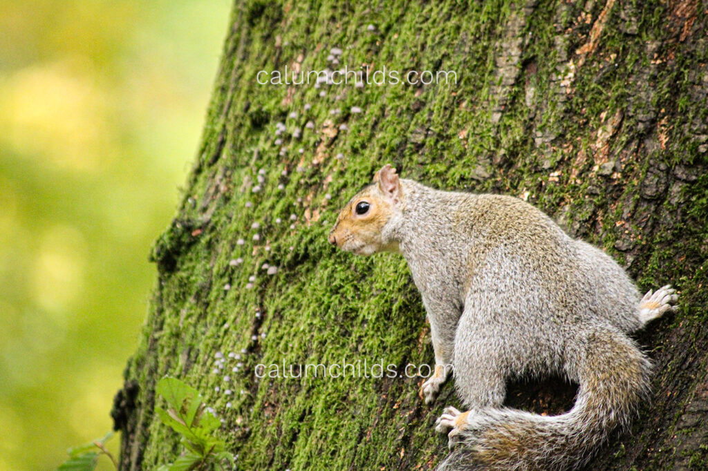 A squirrel looks back as it scurries up a tree trunk.