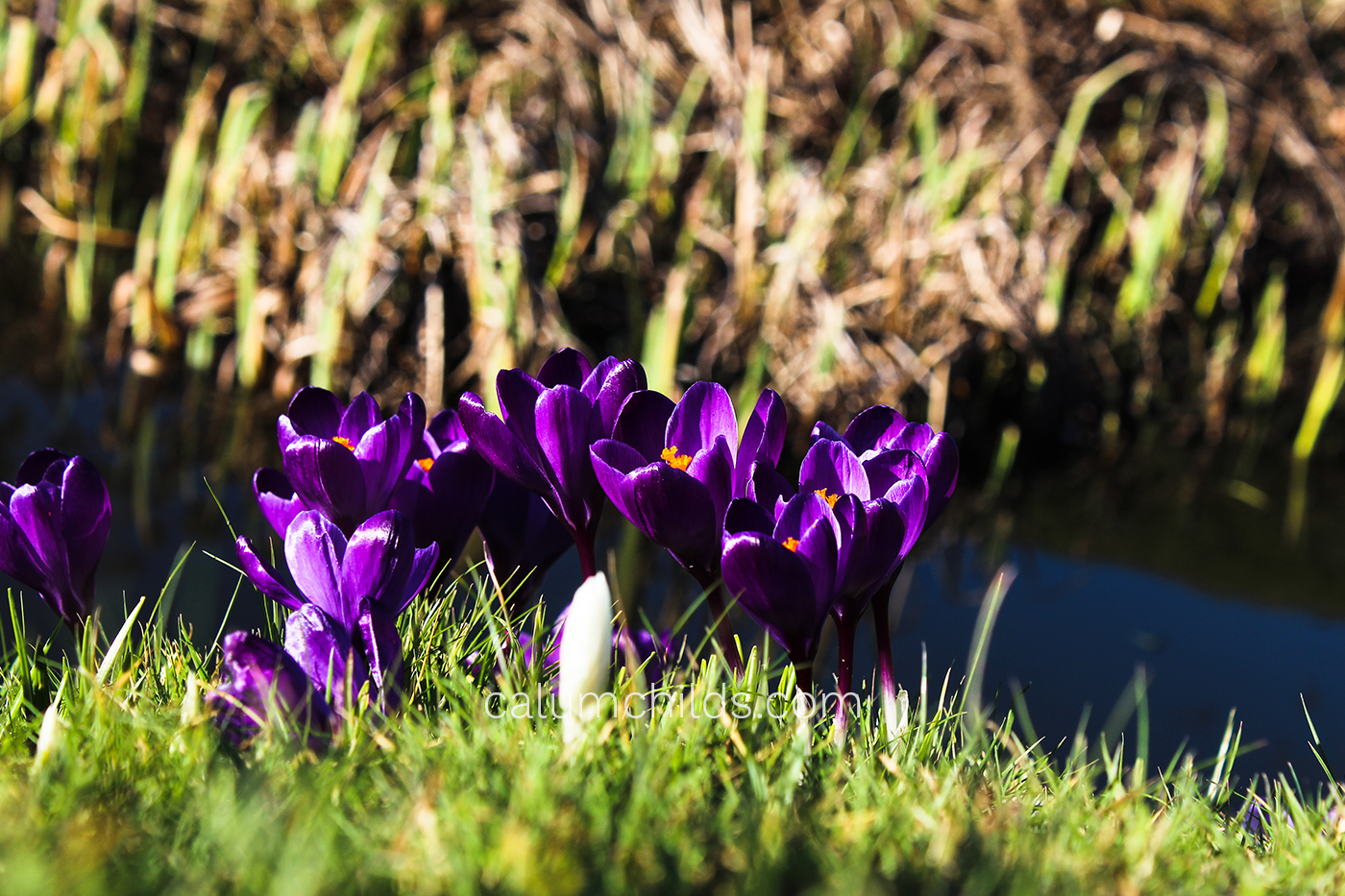 A group of purple crocuses grow on the riverbank.