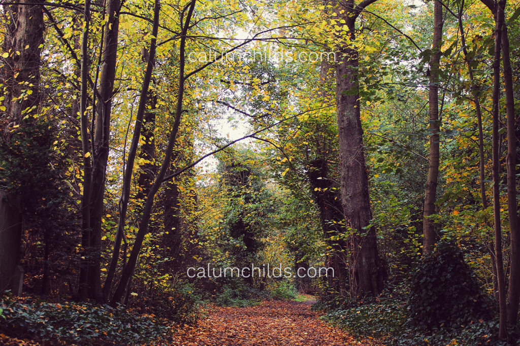 A series of tall, thin trees with yellow leaves on both sides of a leaf-covered path.