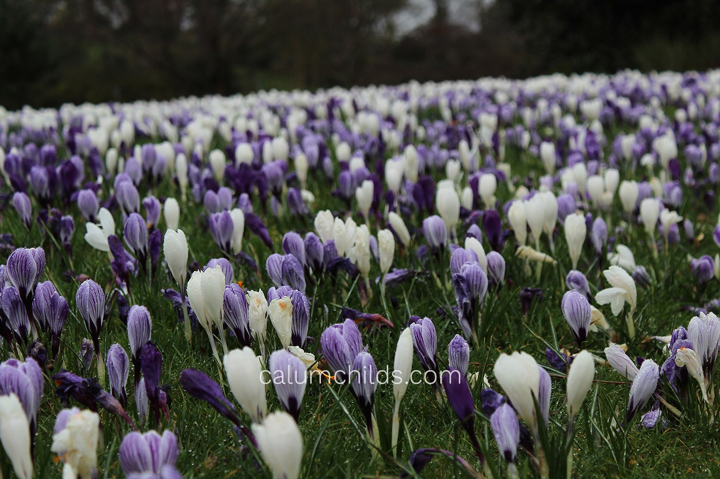 "A ""field"" of light purple and white crocuses growing on the grass."