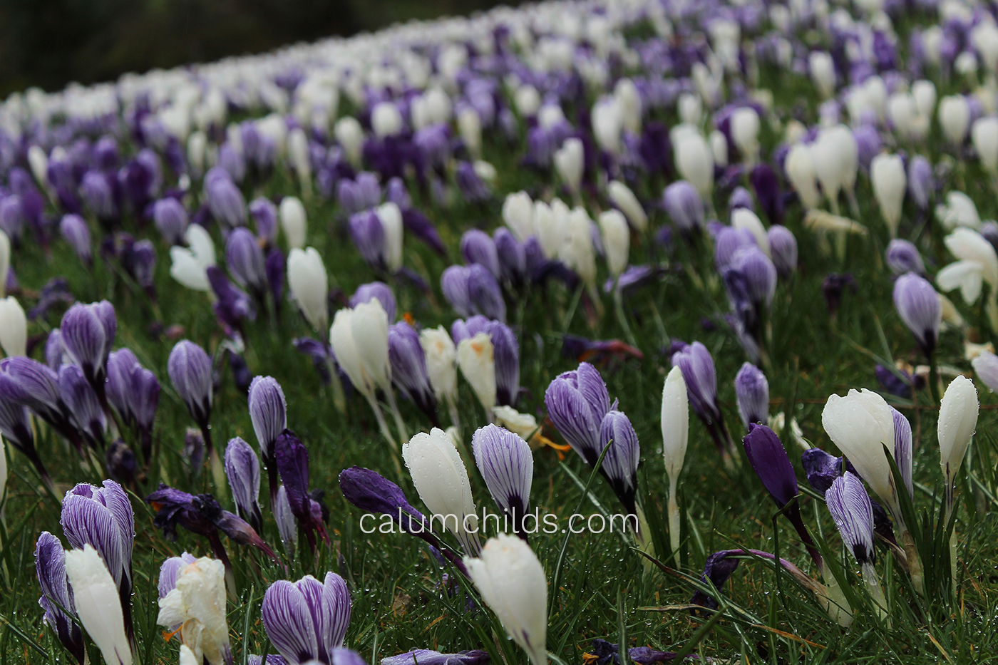 Purple and white crocuses grow on the grass.