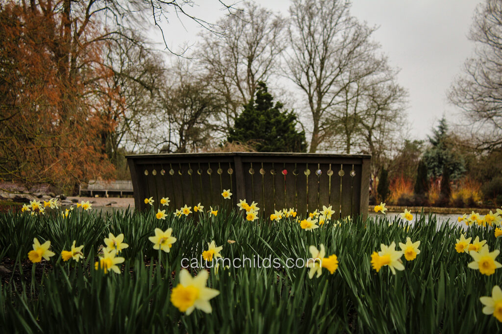 Daffodils surround the foreground and the bench in the background.