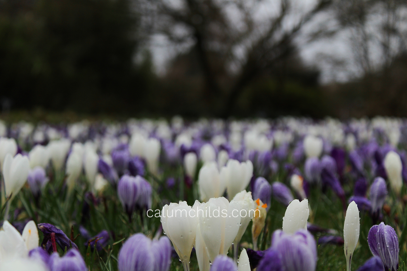 A few white and purple crocuses grow in the foreground, with many more crocuses in the background.