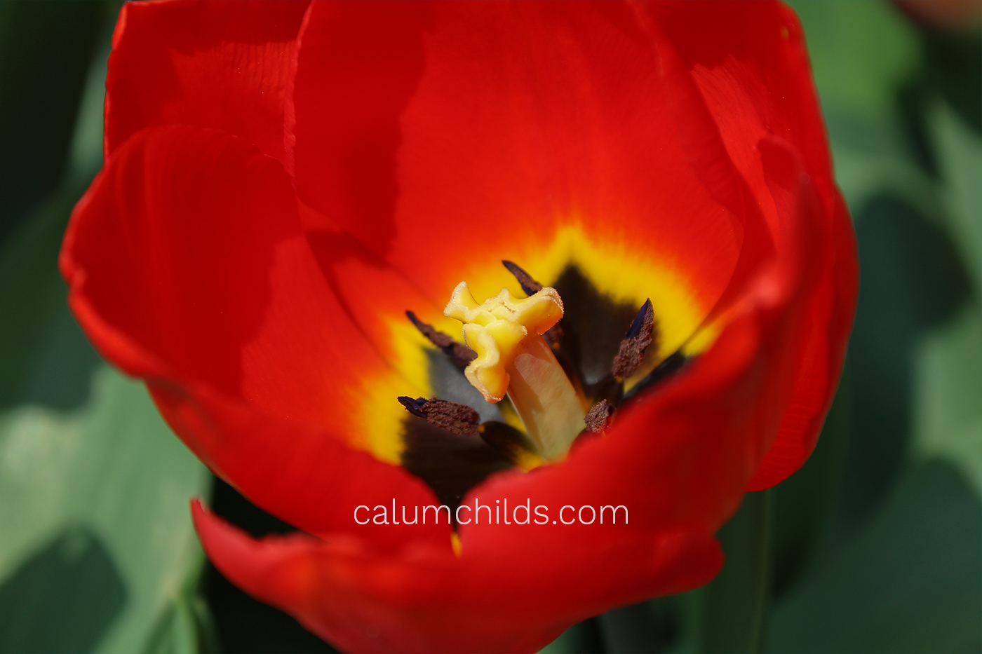 The stamen of a red tulip is on show, surrounded by it's red petals.
