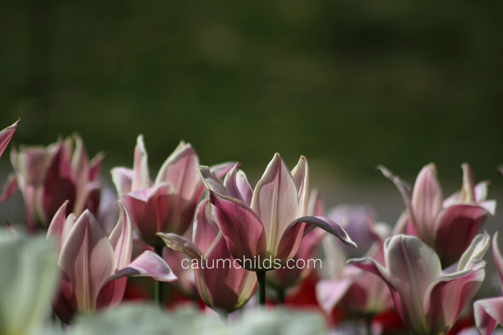 Pink tulips with one or two petals flopping in the beautiful spring afternoon sun.