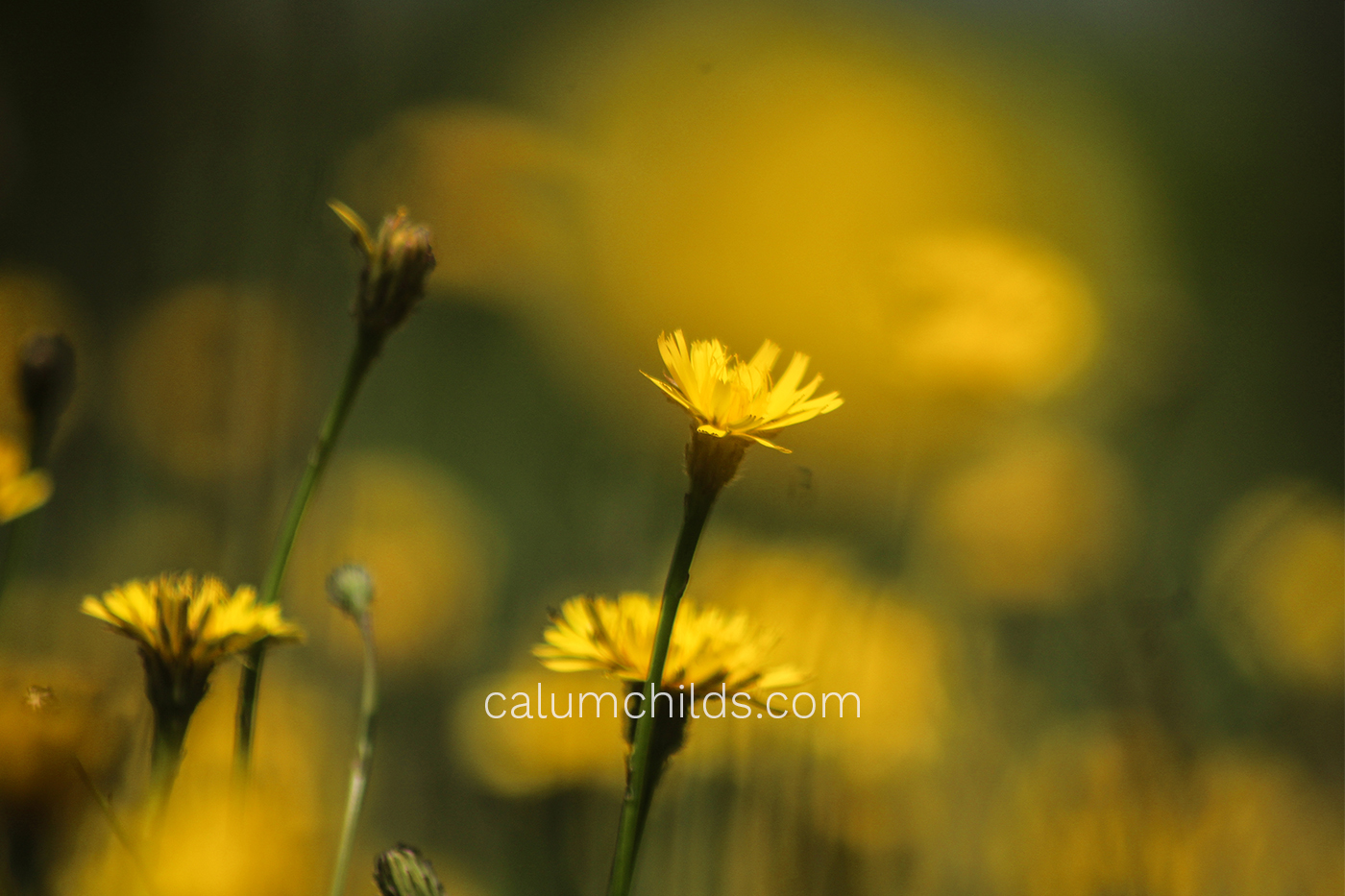 A dandelion is surrounded by blobs of yellow.
