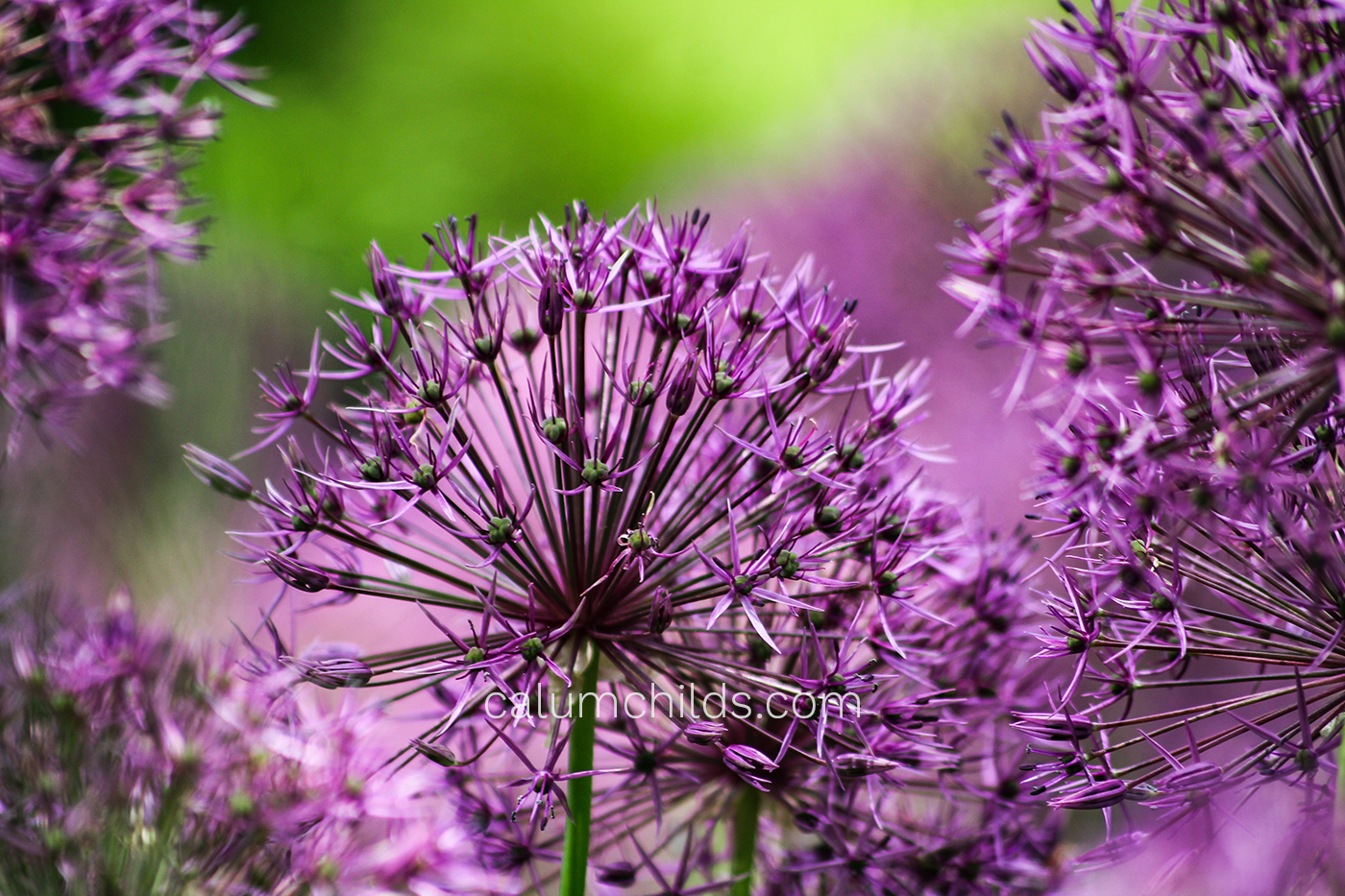 Multiple allium heads with small flowers and petals.