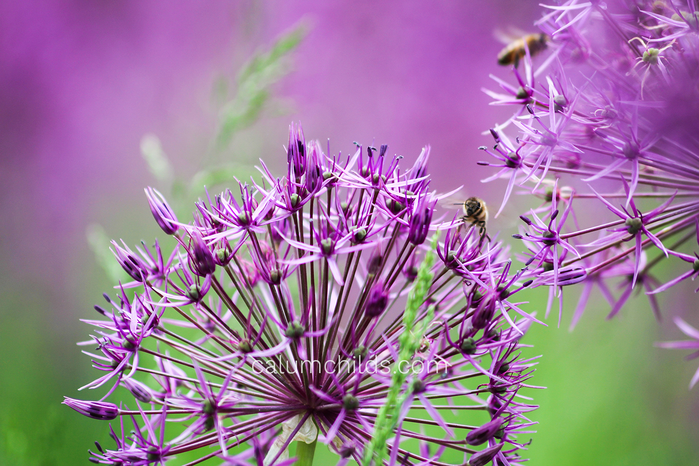 The head of an allium is surrounded by many others, which are being pollinated by bees.