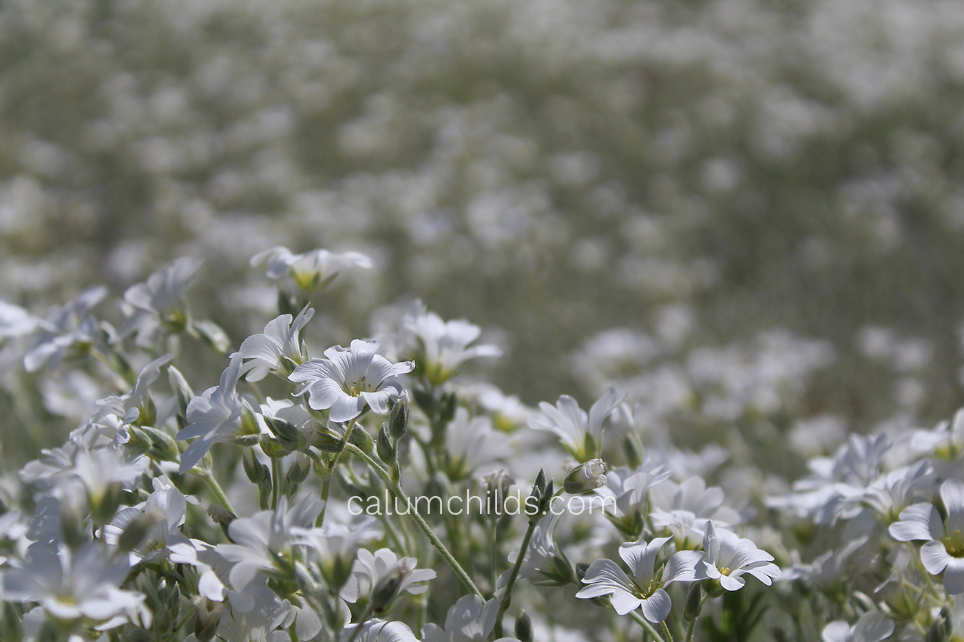 An area of grass which is covered in Cerastium tomentosum.
