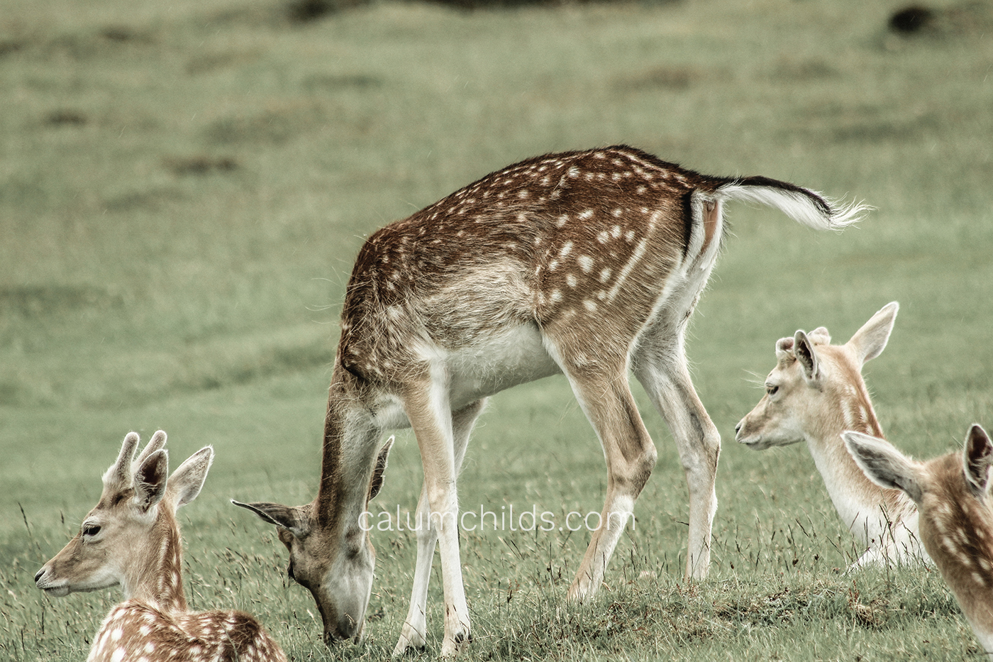 A doe eats on some grass, surrounded by other does sitting down and looking into the distance.
