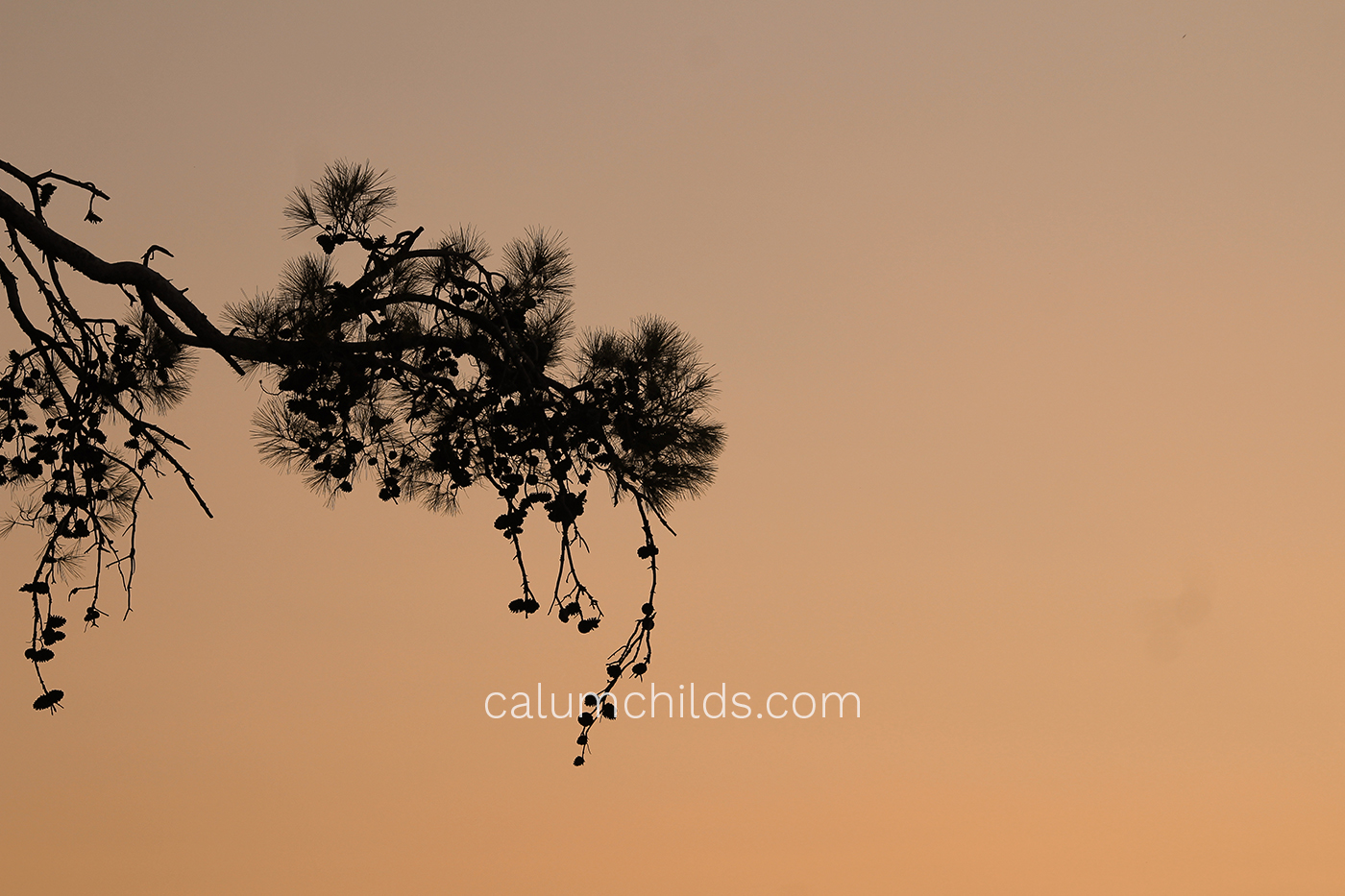 A branch of a pine tree with an orange-red sky behind it.