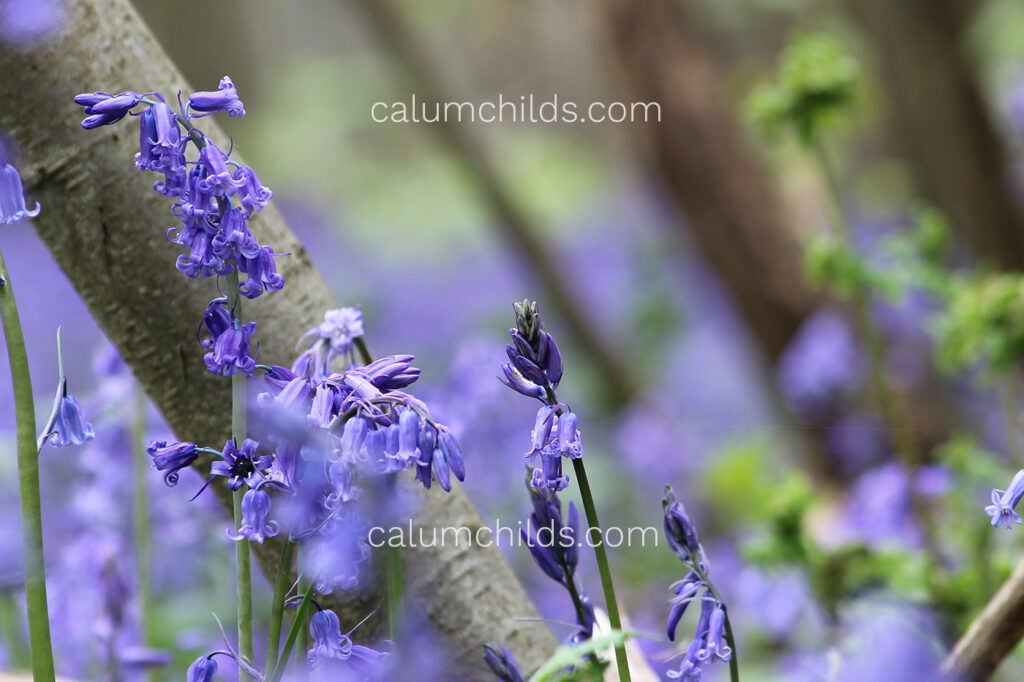 A few bluebells leaning on a slanted small trunk.
