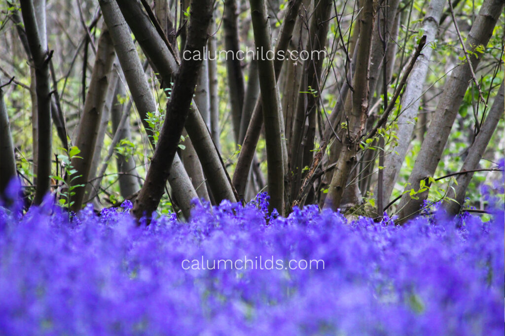 A purple carpet of bluebells with coppice trees in the background.